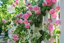 Climbing Plants / Decorate that new pergola, arbor or lattice with nature! Here are some of the very best climbing plants, flowers and vines for inspiration! / by Walpole Outdoors