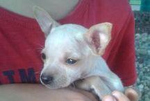 Chihuahua !