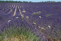 Lavender / Lavender in Provence. #Provence #tourismepaca #lavender