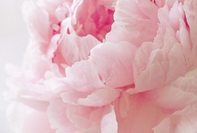 Peonies!!! / Any of various garden plants of the genus Paeonia,having large pink, red, white, or yellow flowers,my favorites ever!