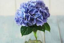 Hydrangeas are blue,pink,white...