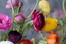 Ranunculus! / ...soft petals and brilliant colours...