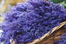 """Lavender! / """"Can I have a look at Uranus too, Lavender?"""" — J.K. Rowling (Harry Potter and the Goblet of Fire)"""