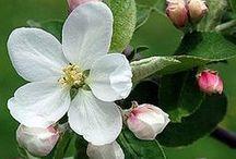 Blossoms!cherry,apple,almond...