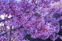 Spring Flowering Trees / The list of delightful spring flowering trees is long, with many deserving choices to pick from. www.meadowsfarms.com