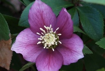 Winter Flowering Hellebores  / Hellebores are a wonderful way to add perennial color to your garden. www.meadowsfarmws.com