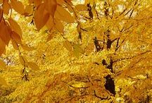 Autumn Gold / by Connie