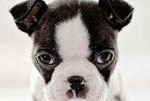 Boston Terrier Love / by Stephanie Clark