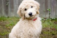 Goldendoodle Training & Care / Information on training and raising a puppy.