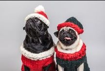 Bowie and Mr Squiggles Holiday Hats / It's that time of year! We're getting into the spirit of the season by putting funny hats on our furry friends. Celebrate the holidays with pugs (the only way to do it really!) / by MOO