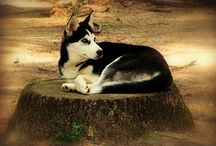 Marleygirl / If you would like to pin to this board for Siberian Huskies, please ask for an invite
