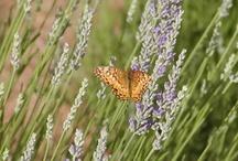 Turkey Creek Lavender Farm