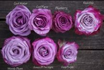 FF -  Rose Color Studies / A Curated Series of Rose Color Studies produced by Flirty Fleurs.