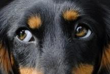 i love dachshunds ❤ / by Coqui de Vicente