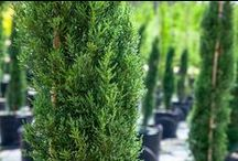 Perfect Plants - Privacy Trees