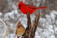 Birds - Cardinals / by Rose Martin