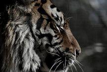 Respectfully Majestic&Fierce / El Tigre, Tiburónes, Osos, ect.... / by Chasa Derrick
