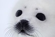 Seals and other animals (Cindy's board) / by Susie Mellen
