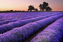 Lavender / by J Ariel Hoffman