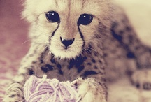 My Darling Cheetahs + Other Babes