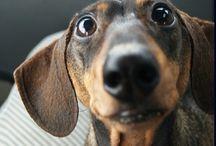dachshund love / by Stacey Jmaeff