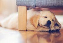 Doggy board