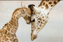 Giraffes and Meerkats
