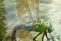 Dragonflies / by Tina Damron