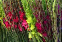 The beauty of Gladiolus.... / Gladiolen, een van 's werelds oudste bloemen, die in het teken staan van kracht en overwinning. Wij zetten de trendy soorten voor je op een rij.