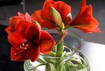 Big Love of Amaryllis / Grote liefde van de Amaryllis! Groots in knop, groot in klasse. Bovendien tijdens het winterseizoen een van de meest verkochte bloemen. Bij ons bewonder je de Amaryllis als nooit tevoren!!!