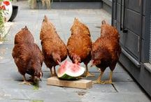 Cluckin Chickens / by Katie Ketelsen