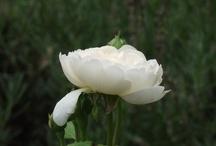 Rosen / Rosen aus meinem Garten,