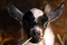 Animals / Pictures of beautiful barnyard animals.