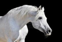 Animals: Arabian Purebreds / by Jolanda van Pareren