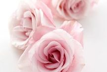 Roses: Pink