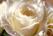 White Roses / The symbol of innocence, purity, new beginnings and everlasting love.... / by Stephanie Miceli