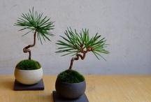 Gardening: Bonsai / Bonsai trees