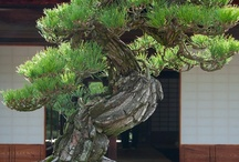 Beautiful Bonsai / Bonsai & Kusamono in all stages of refinement / by green•eye•design, llc