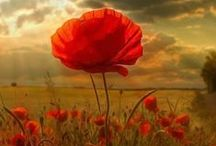 I love poppies! / by Mary Howells