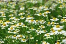 Lawn Grass Alternatives / Eco-Friendly Alternatives to to conventional lawn grass.