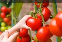 Gardening - Tomatoes / by Joyce Tillery