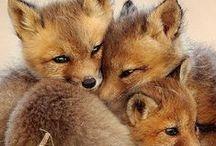 Kettu - fox / Kettuja, kettuja...