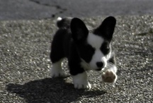 Cardigan Welsh Corgis / by Daily Corgi