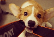 Corgi Puppies! / by Daily Corgi