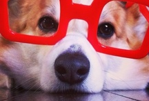 Corgis In Glasses n' Goggles! / by Daily Corgi