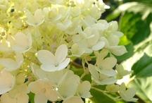 Hydrangea/Hortensja
