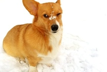 Corgis In The Snow! / by Daily Corgi