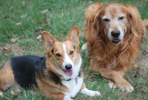 Corgis n' Canine Buddies / by Daily Corgi