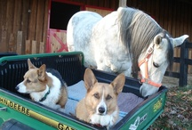 Corgis n' Horses! / by Daily Corgi