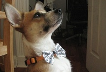 Corgis In Bow Ties! / by Daily Corgi